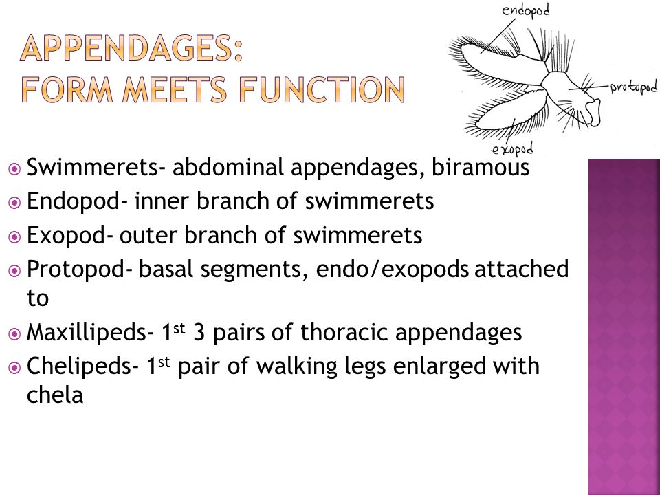  Swimmerets- abdominal appendages, biramous  Endopod- inner branch of swimmerets  Exopod- outer branch of swimmerets  Protopod- basal segments, en