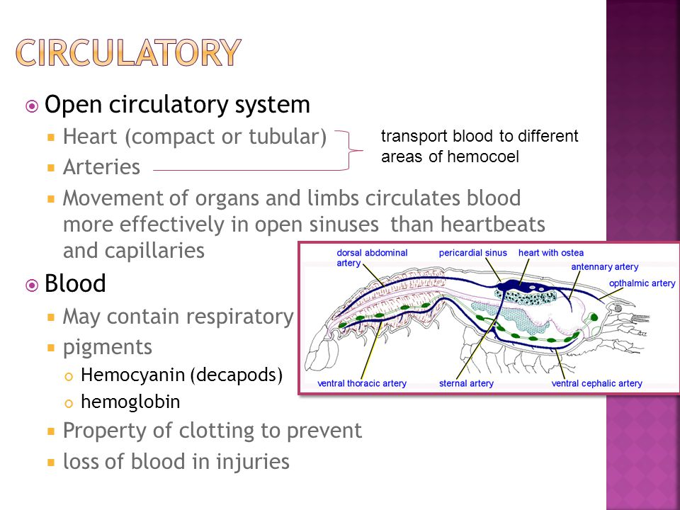  Open circulatory system  Heart (compact or tubular)  Arteries  Movement of organs and limbs circulates blood more effectively in open sinuses tha