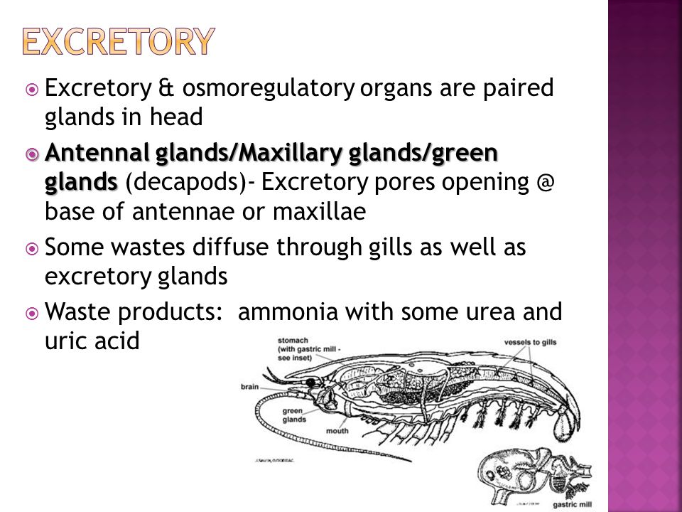  Excretory & osmoregulatory organs are paired glands in head  Antennal glands/Maxillary glands/green glands  Antennal glands/Maxillary glands/green