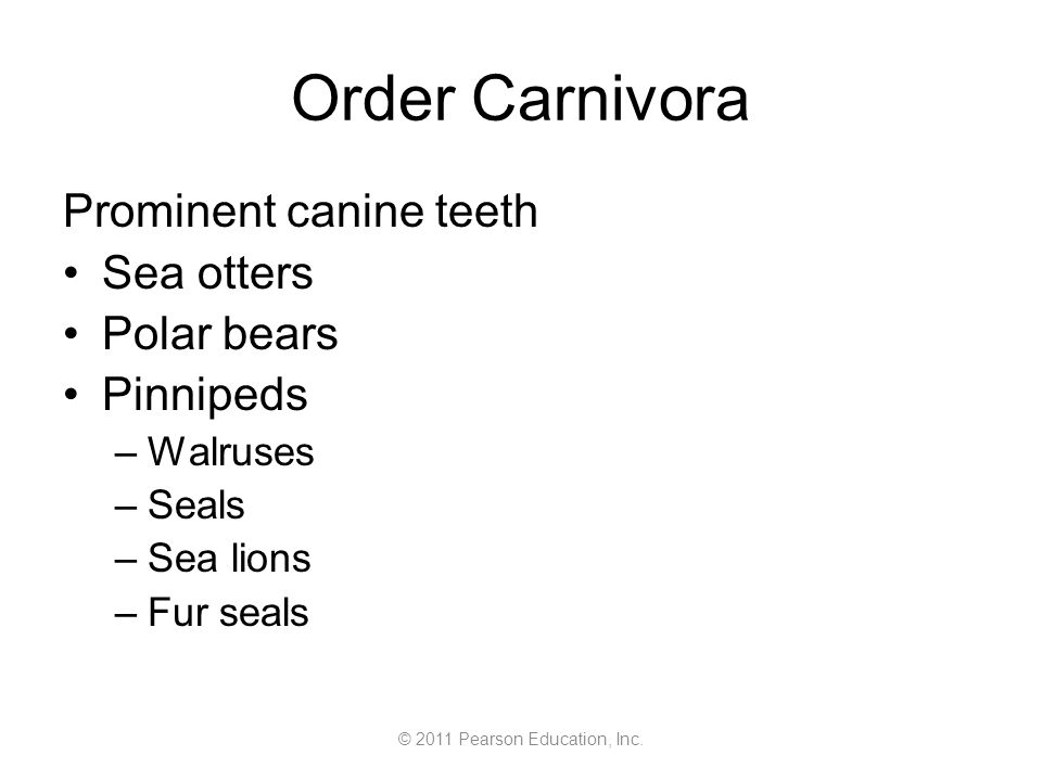 © 2011 Pearson Education, Inc. Order Carnivora Prominent canine teeth Sea otters Polar bears Pinnipeds –Walruses –Seals –Sea lions –Fur seals