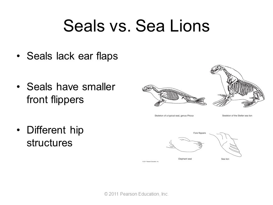 © 2011 Pearson Education, Inc. Seals vs. Sea Lions Seals lack ear flaps Seals have smaller front flippers Different hip structures
