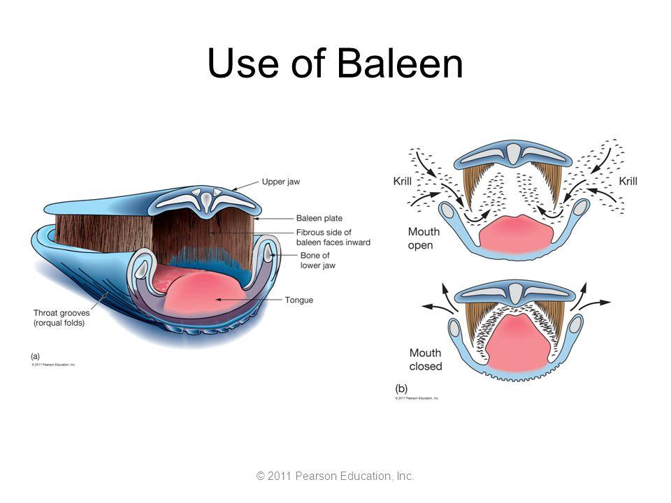 © 2011 Pearson Education, Inc. Use of Baleen