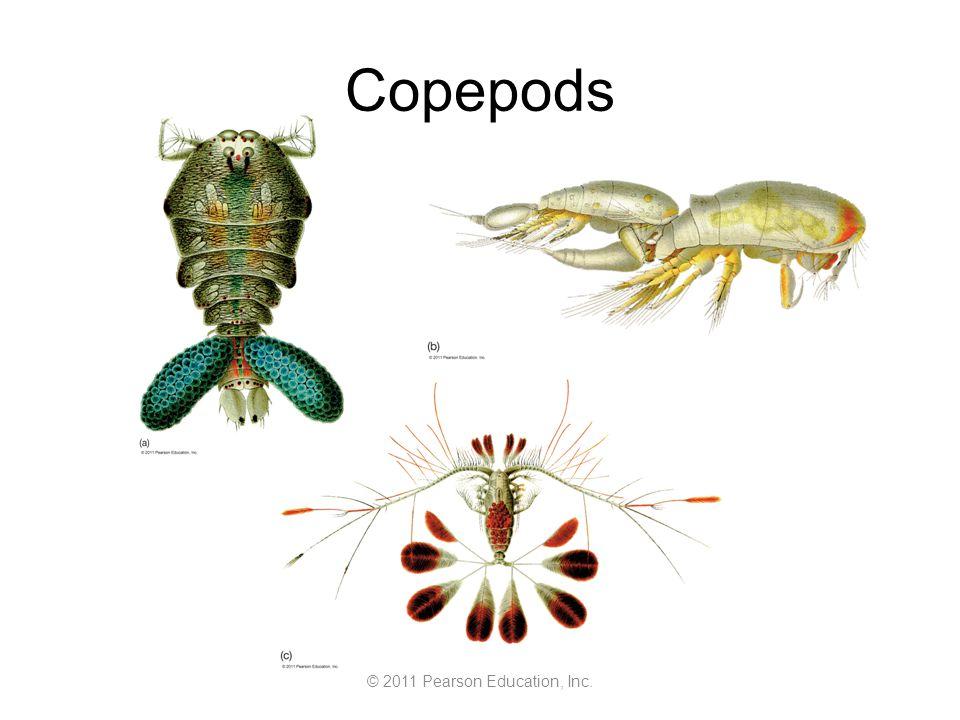 © 2011 Pearson Education, Inc. Copepods