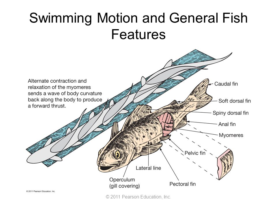 © 2011 Pearson Education, Inc. Swimming Motion and General Fish Features