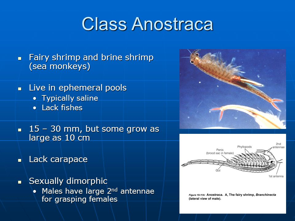 Class Anostraca Fairy shrimp and brine shrimp (sea monkeys) Fairy shrimp and brine shrimp (sea monkeys) Live in ephemeral pools Live in ephemeral pools Typically salineTypically saline Lack fishesLack fishes 15 – 30 mm, but some grow as large as 10 cm 15 – 30 mm, but some grow as large as 10 cm Lack carapace Lack carapace Sexually dimorphic Sexually dimorphic Males have large 2 nd antennae for grasping femalesMales have large 2 nd antennae for grasping females