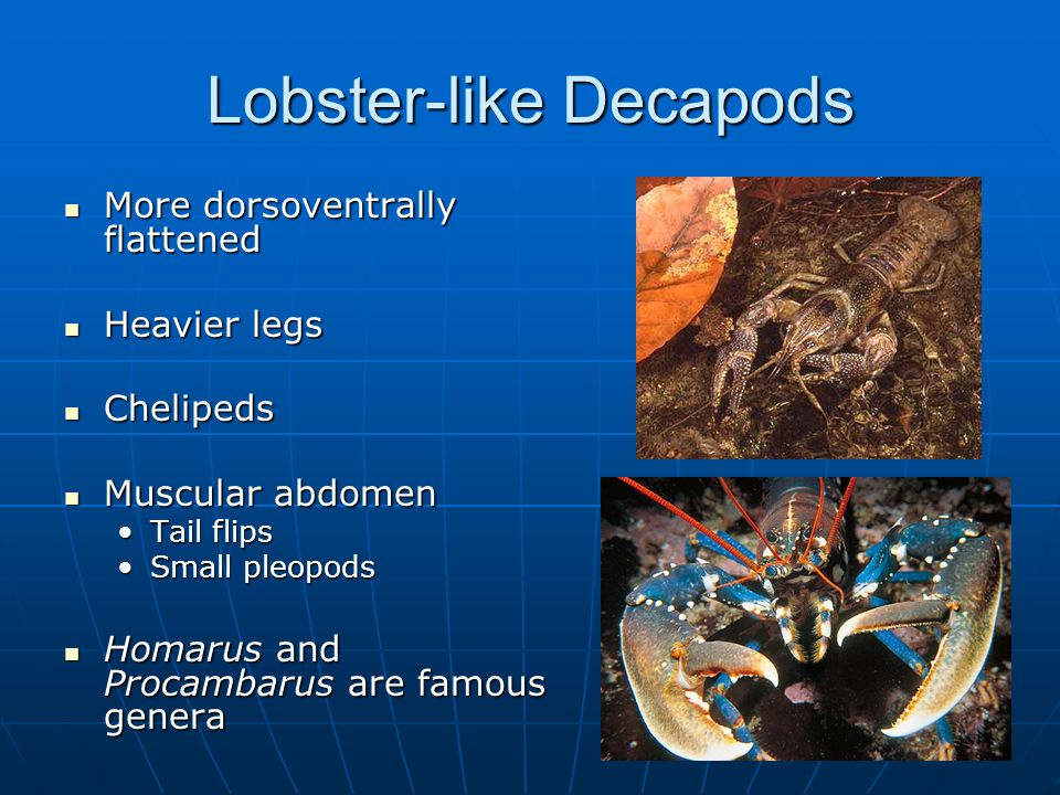 Lobster-like Decapods More dorsoventrally flattened More dorsoventrally flattened Heavier legs Heavier legs Chelipeds Chelipeds Muscular abdomen Muscular abdomen Tail flipsTail flips Small pleopodsSmall pleopods Homarus and Procambarus are famous genera Homarus and Procambarus are famous genera