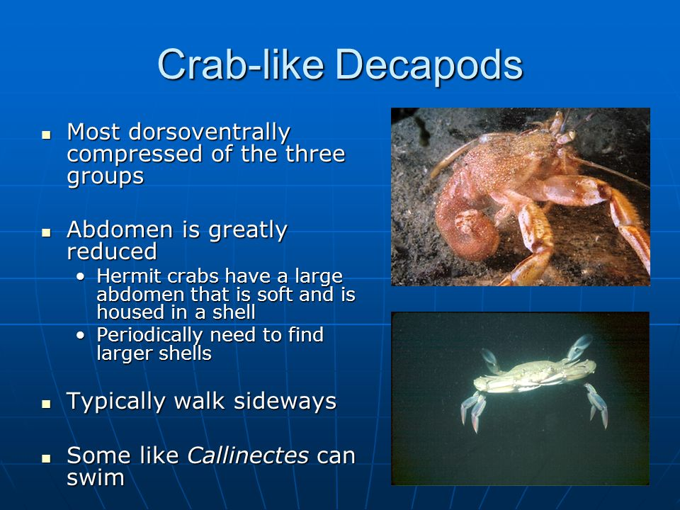 Crab-like Decapods Most dorsoventrally compressed of the three groups Most dorsoventrally compressed of the three groups Abdomen is greatly reduced Abdomen is greatly reduced Hermit crabs have a large abdomen that is soft and is housed in a shellHermit crabs have a large abdomen that is soft and is housed in a shell Periodically need to find larger shellsPeriodically need to find larger shells Typically walk sideways Typically walk sideways Some like Callinectes can swim Some like Callinectes can swim