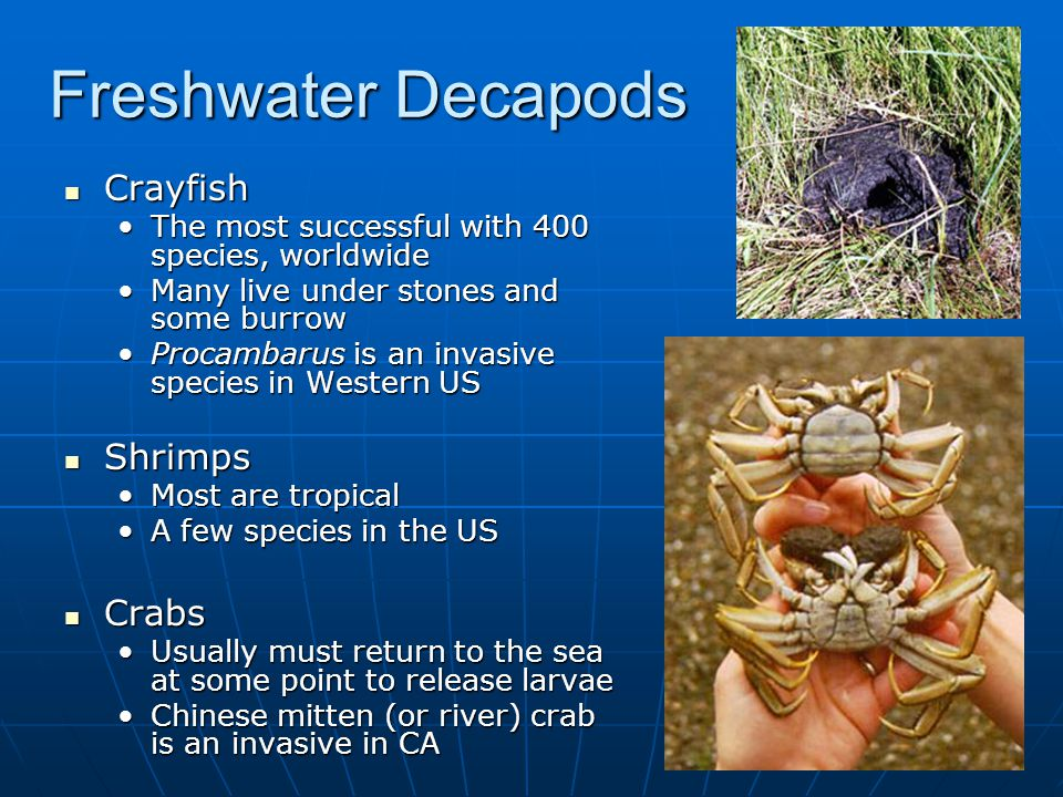 Freshwater Decapods Crayfish Crayfish The most successful with 400 species, worldwideThe most successful with 400 species, worldwide Many live under stones and some burrowMany live under stones and some burrow Procambarus is an invasive species in Western USProcambarus is an invasive species in Western US Shrimps Shrimps Most are tropicalMost are tropical A few species in the USA few species in the US Crabs Crabs Usually must return to the sea at some point to release larvaeUsually must return to the sea at some point to release larvae Chinese mitten (or river) crab is an invasive in CAChinese mitten (or river) crab is an invasive in CA