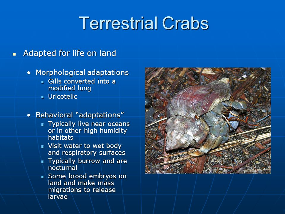 Terrestrial Crabs Adapted for life on land Adapted for life on land Morphological adaptationsMorphological adaptations Gills converted into a modified lung Gills converted into a modified lung Uricotelic Uricotelic Behavioral adaptations Behavioral adaptations Typically live near oceans or in other high humidity habitats Typically live near oceans or in other high humidity habitats Visit water to wet body and respiratory surfaces Visit water to wet body and respiratory surfaces Typically burrow and are nocturnal Typically burrow and are nocturnal Some brood embryos on land and make mass migrations to release larvae Some brood embryos on land and make mass migrations to release larvae