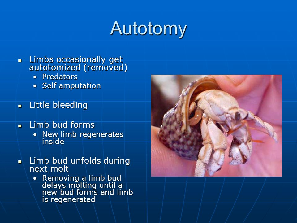 Autotomy Limbs occasionally get autotomized (removed) Limbs occasionally get autotomized (removed) PredatorsPredators Self amputationSelf amputation Little bleeding Little bleeding Limb bud forms Limb bud forms New limb regenerates insideNew limb regenerates inside Limb bud unfolds during next molt Limb bud unfolds during next molt Removing a limb bud delays molting until a new bud forms and limb is regeneratedRemoving a limb bud delays molting until a new bud forms and limb is regenerated