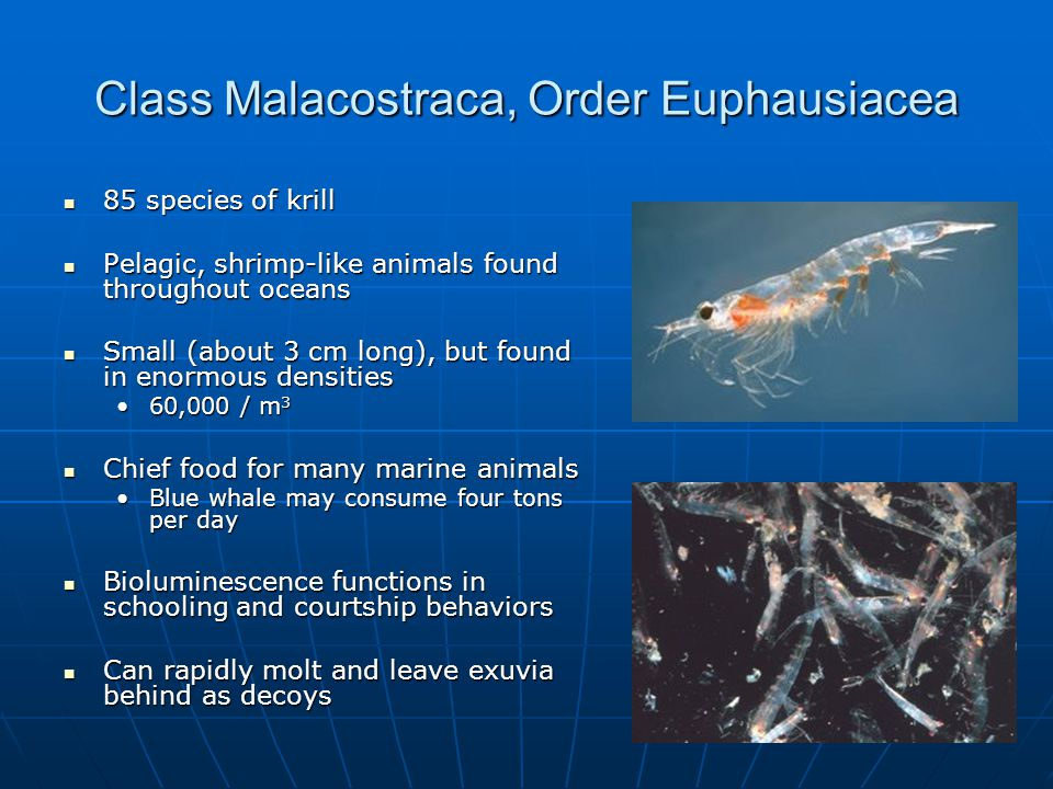 Class Malacostraca, Order Euphausiacea 85 species of krill 85 species of krill Pelagic, shrimp-like animals found throughout oceans Pelagic, shrimp-like animals found throughout oceans Small (about 3 cm long), but found in enormous densities Small (about 3 cm long), but found in enormous densities 60,000 / m 360,000 / m 3 Chief food for many marine animals Chief food for many marine animals Blue whale may consume four tons per dayBlue whale may consume four tons per day Bioluminescence functions in schooling and courtship behaviors Bioluminescence functions in schooling and courtship behaviors Can rapidly molt and leave exuvia behind as decoys Can rapidly molt and leave exuvia behind as decoys