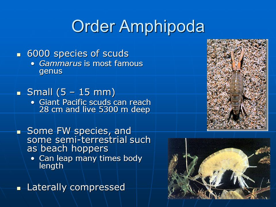 Order Amphipoda 6000 species of scuds 6000 species of scuds Gammarus is most famous genusGammarus is most famous genus Small (5 – 15 mm) Small (5 – 15 mm) Giant Pacific scuds can reach 28 cm and live 5300 m deepGiant Pacific scuds can reach 28 cm and live 5300 m deep Some FW species, and some semi-terrestrial such as beach hoppers Some FW species, and some semi-terrestrial such as beach hoppers Can leap many times body lengthCan leap many times body length Laterally compressed Laterally compressed