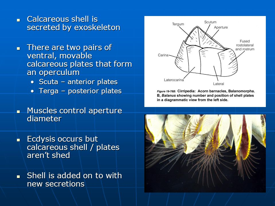 Calcareous shell is secreted by exoskeleton Calcareous shell is secreted by exoskeleton There are two pairs of ventral, movable calcareous plates that form an operculum There are two pairs of ventral, movable calcareous plates that form an operculum Scuta – anterior platesScuta – anterior plates Terga – posterior platesTerga – posterior plates Muscles control aperture diameter Muscles control aperture diameter Ecdysis occurs but calcareous shell / plates aren't shed Ecdysis occurs but calcareous shell / plates aren't shed Shell is added on to with new secretions Shell is added on to with new secretions