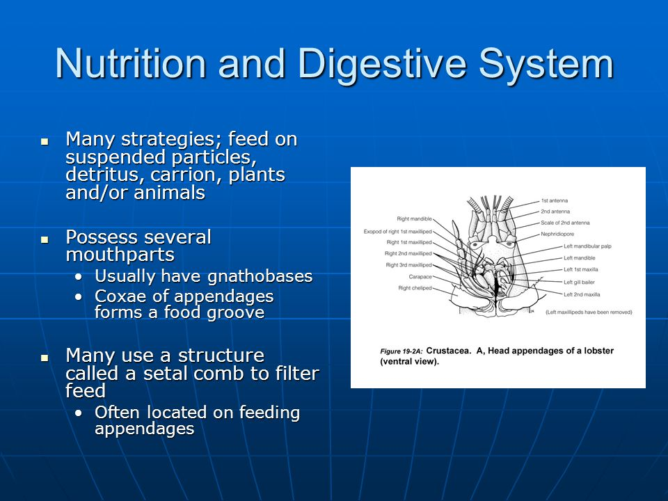 Nutrition and Digestive System Many strategies; feed on suspended particles, detritus, carrion, plants and/or animals Many strategies; feed on suspended particles, detritus, carrion, plants and/or animals Possess several mouthparts Possess several mouthparts Usually have gnathobasesUsually have gnathobases Coxae of appendages forms a food grooveCoxae of appendages forms a food groove Many use a structure called a setal comb to filter feed Many use a structure called a setal comb to filter feed Often located on feeding appendagesOften located on feeding appendages