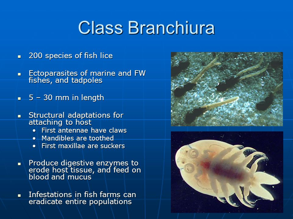 Class Branchiura 200 species of fish lice 200 species of fish lice Ectoparasites of marine and FW fishes, and tadpoles Ectoparasites of marine and FW fishes, and tadpoles 5 – 30 mm in length 5 – 30 mm in length Structural adaptations for attaching to host Structural adaptations for attaching to host First antennae have clawsFirst antennae have claws Mandibles are toothedMandibles are toothed First maxillae are suckersFirst maxillae are suckers Produce digestive enzymes to erode host tissue, and feed on blood and mucus Produce digestive enzymes to erode host tissue, and feed on blood and mucus Infestations in fish farms can eradicate entire populations Infestations in fish farms can eradicate entire populations