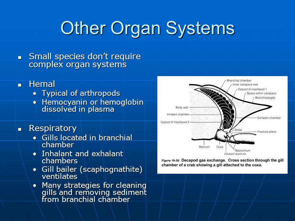 Other Organ Systems Small species don't require complex organ systems Small species don't require complex organ systems Hemal Hemal Typical of arthropodsTypical of arthropods Hemocyanin or hemoglobin dissolved in plasmaHemocyanin or hemoglobin dissolved in plasma Respiratory Respiratory Gills located in branchial chamberGills located in branchial chamber Inhalant and exhalant chambersInhalant and exhalant chambers Gill bailer (scaphognathite) ventilatesGill bailer (scaphognathite) ventilates Many strategies for cleaning gills and removing sediment from branchial chamberMany strategies for cleaning gills and removing sediment from branchial chamber
