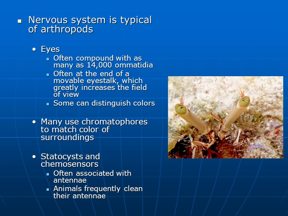 Nervous system is typical of arthropods Nervous system is typical of arthropods EyesEyes Often compound with as many as 14,000 ommatidia Often compound with as many as 14,000 ommatidia Often at the end of a movable eyestalk, which greatly increases the field of view Often at the end of a movable eyestalk, which greatly increases the field of view Some can distinguish colors Some can distinguish colors Many use chromatophores to match color of surroundingsMany use chromatophores to match color of surroundings Statocysts and chemosensorsStatocysts and chemosensors Often associated with antennae Often associated with antennae Animals frequently clean their antennae Animals frequently clean their antennae