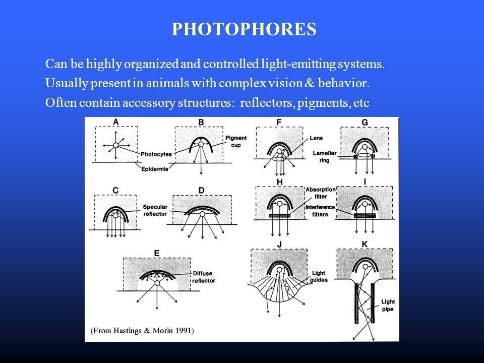 PHOTOPHORES Can be highly organized and controlled light-emitting systems.