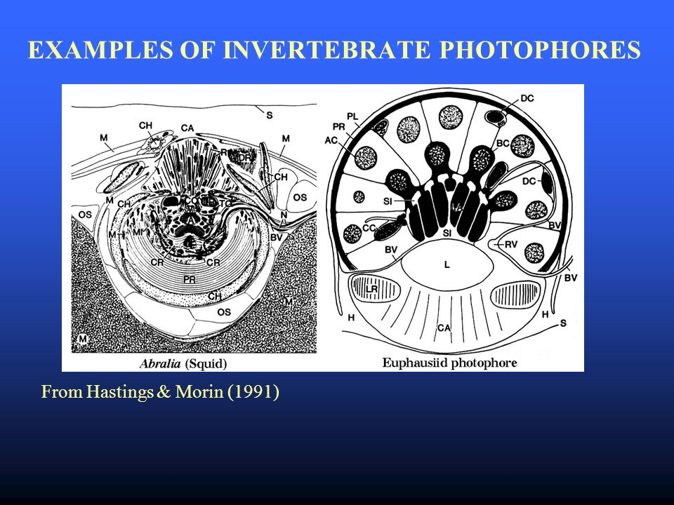 EXAMPLES OF INVERTEBRATE PHOTOPHORES From Hastings & Morin (1991)
