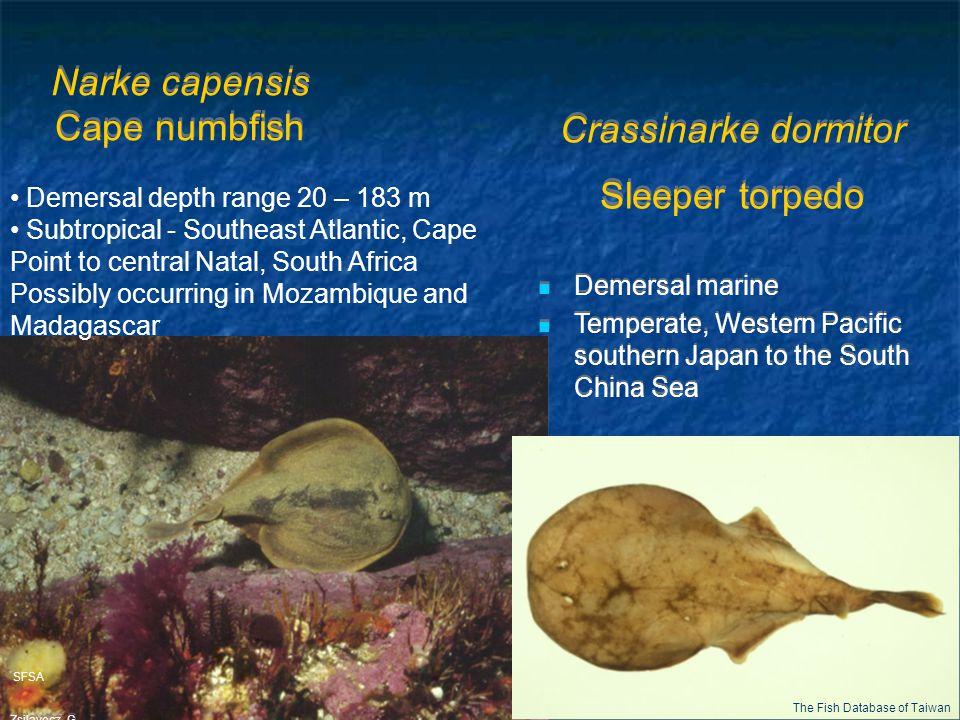 Narke capensis Cape numbfish SFSA Zsilavecz, G. Demersal depth range 20 – 183 m Subtropical - Southeast Atlantic, Cape Point to central Natal, South A