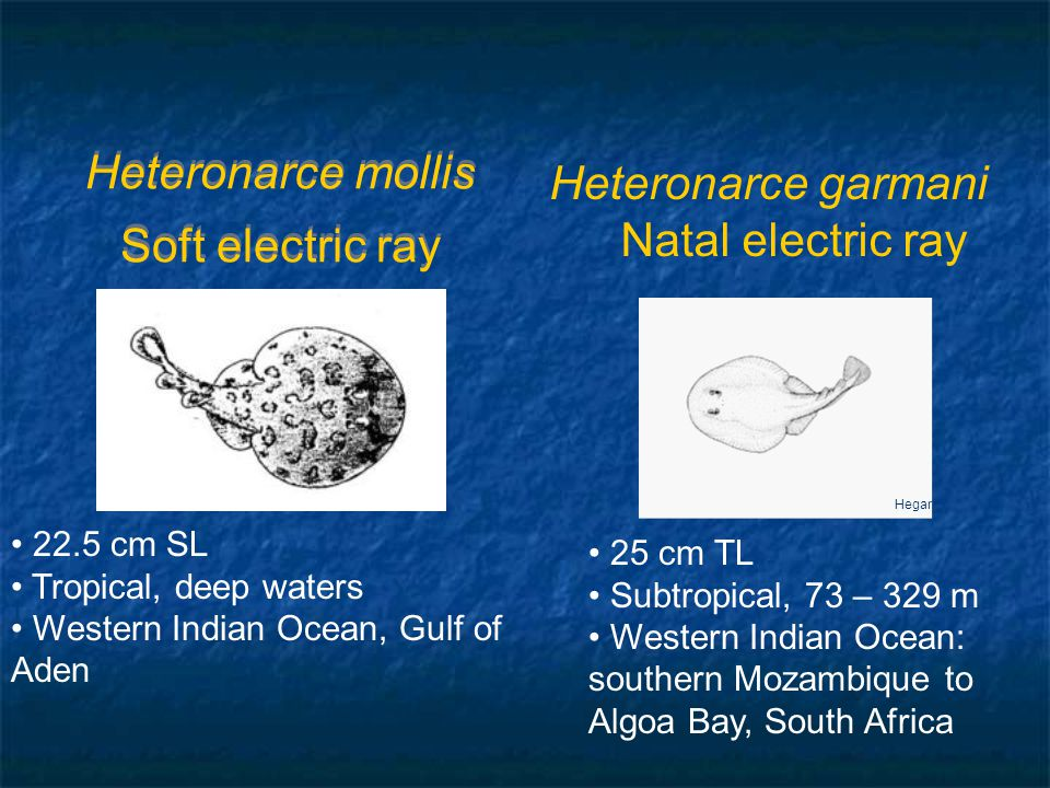 Heteronarce mollis Soft electric ray 22.5 cm SL Tropical, deep waters Western Indian Ocean, Gulf of Aden Hegar 25 cm TL Subtropical, 73 – 329 m Western Indian Ocean: southern Mozambique to Algoa Bay, South Africa Heteronarce garmani Natal electric ray
