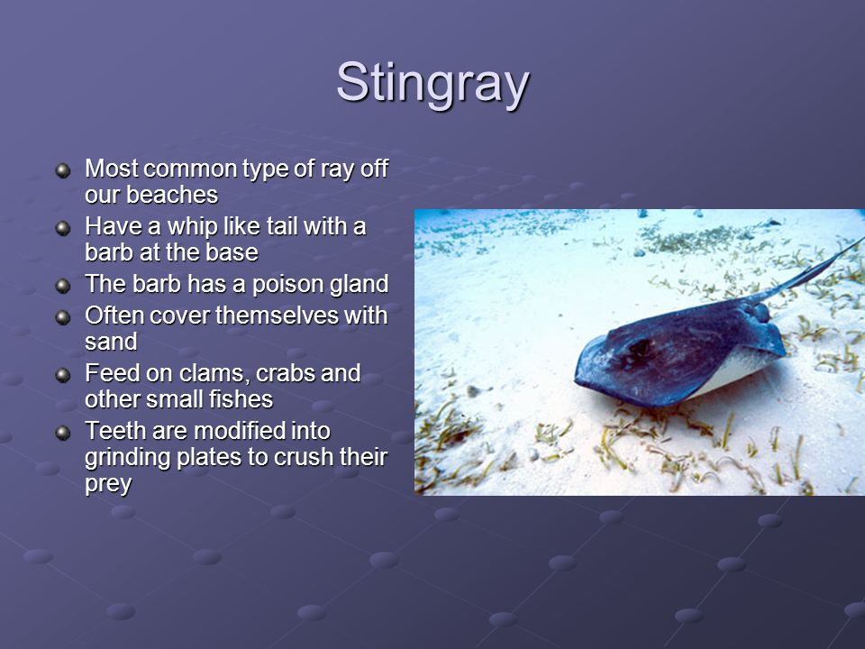 Stingray Most common type of ray off our beaches Have a whip like tail with a barb at the base The barb has a poison gland Often cover themselves with sand Feed on clams, crabs and other small fishes Teeth are modified into grinding plates to crush their prey