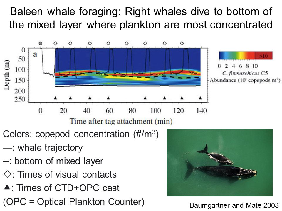 Baumgartner and Mate 2003 Colors: copepod concentration (#/m 3 ) —: whale trajectory --: bottom of mixed layer  : Times of visual contacts  : Times of CTD+OPC cast (OPC = Optical Plankton Counter) Baleen whale foraging: Right whales dive to bottom of the mixed layer where plankton are most concentrated