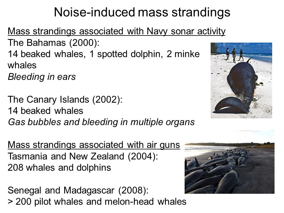 Noise-induced mass strandings Mass strandings associated with Navy sonar activity The Bahamas (2000): 14 beaked whales, 1 spotted dolphin, 2 minke whales Bleeding in ears The Canary Islands (2002): 14 beaked whales Gas bubbles and bleeding in multiple organs Mass strandings associated with air guns Tasmania and New Zealand (2004): 208 whales and dolphins Senegal and Madagascar (2008): > 200 pilot whales and melon-head whales