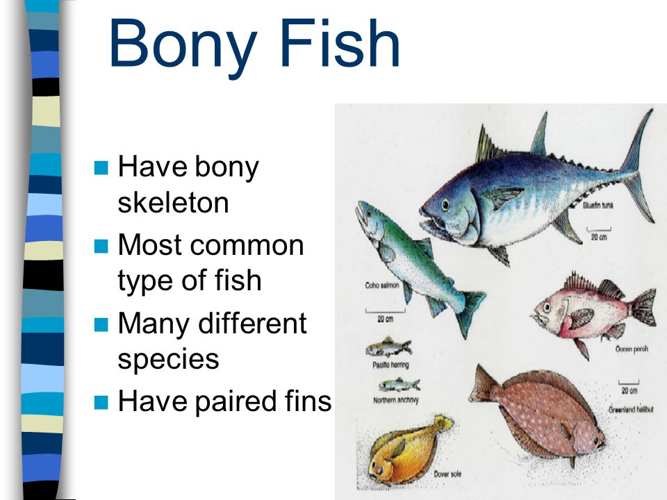 Bony Fish Have bony skeleton Most common type of fish Many different species Have paired fins