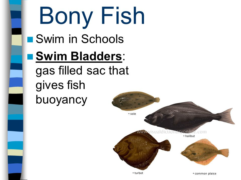 Bony Fish Swim in Schools Swim Bladders: gas filled sac that gives fish buoyancy