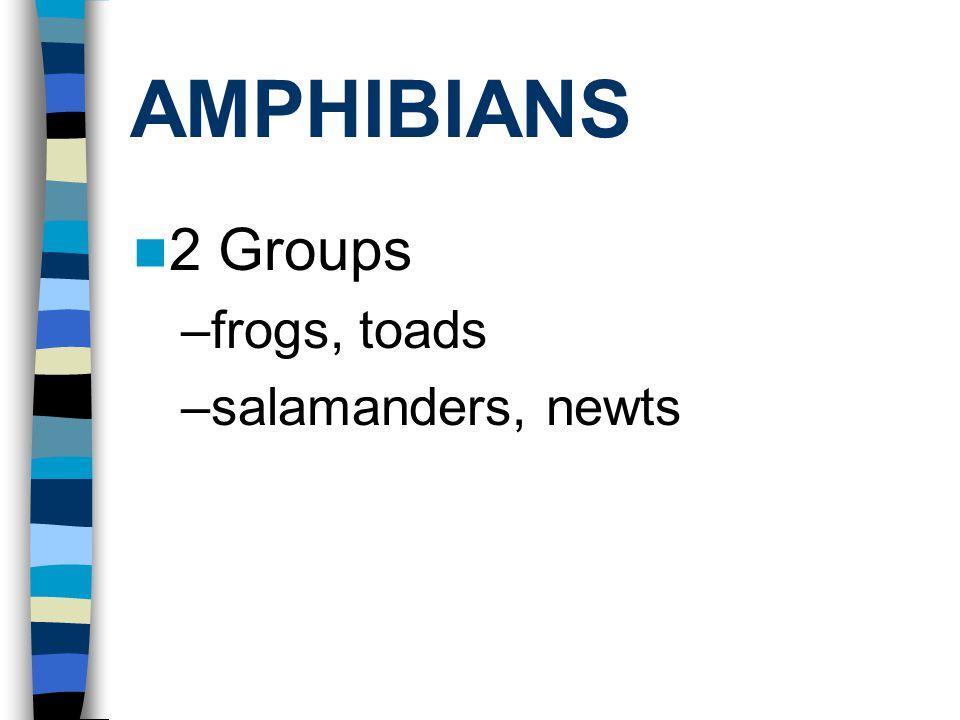 AMPHIBIANS 2 Groups –frogs, toads –salamanders, newts
