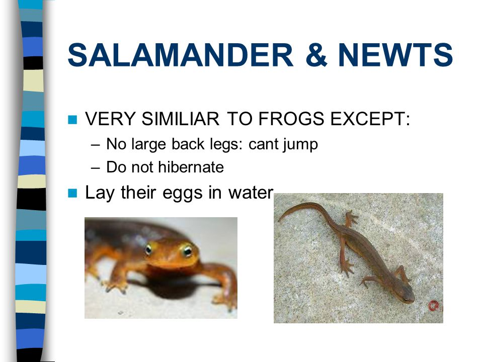 SALAMANDER & NEWTS VERY SIMILIAR TO FROGS EXCEPT: –No large back legs: cant jump –Do not hibernate Lay their eggs in water