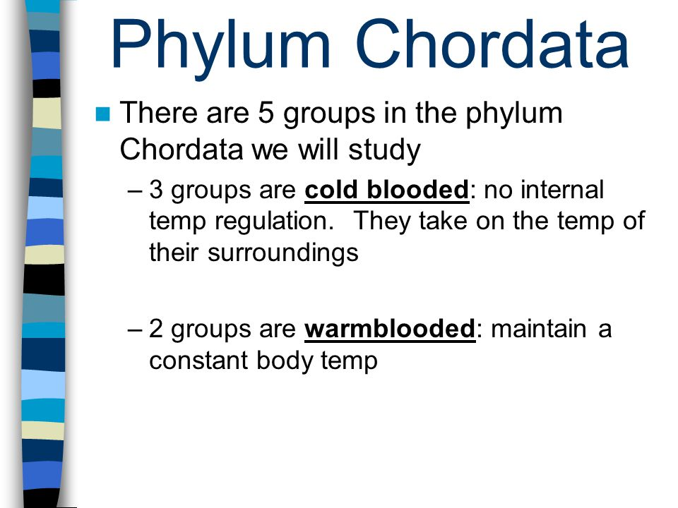 Phylum Chordata There are 5 groups in the phylum Chordata we will study –3 groups are cold blooded: no internal temp regulation.
