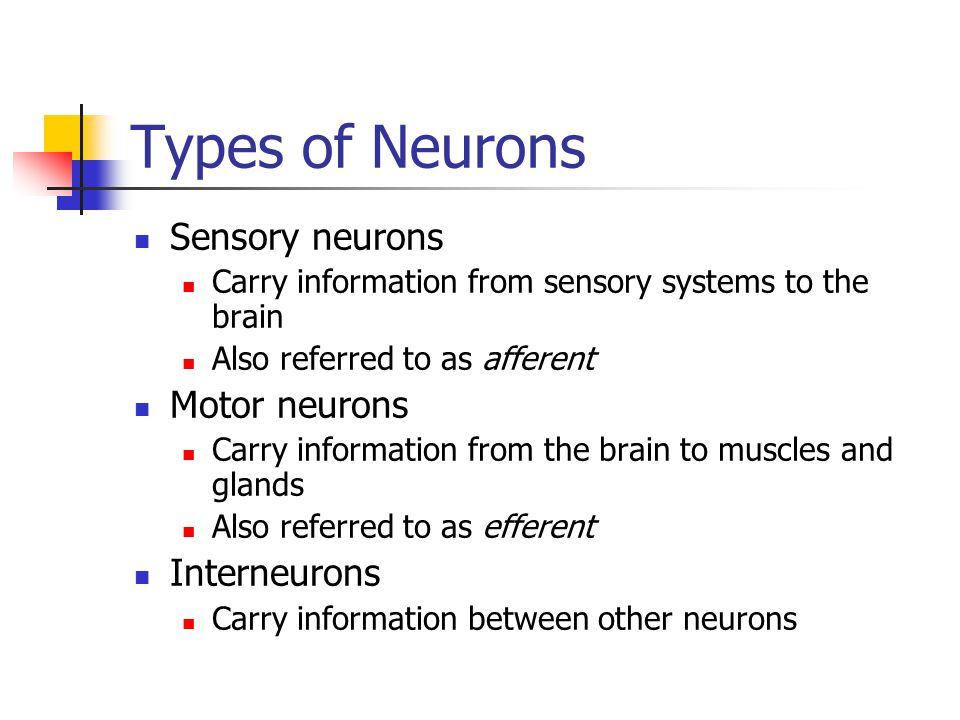 Types of Neurons Sensory neurons Carry information from sensory systems to the brain Also referred to as afferent Motor neurons Carry information from