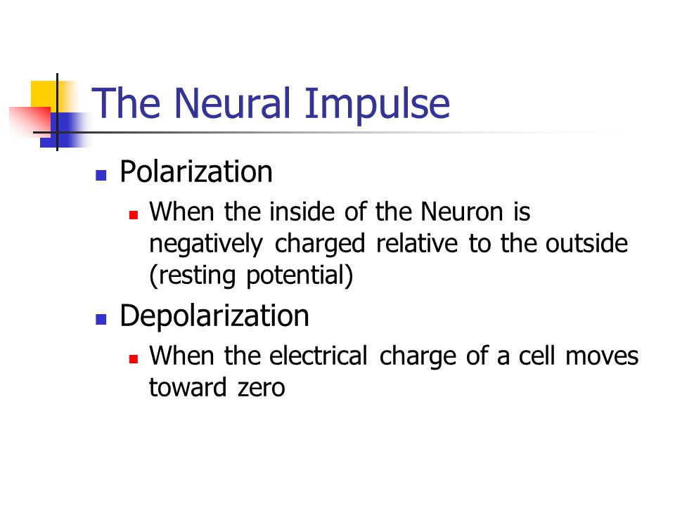 The Neural Impulse Polarization When the inside of the Neuron is negatively charged relative to the outside (resting potential) Depolarization When th