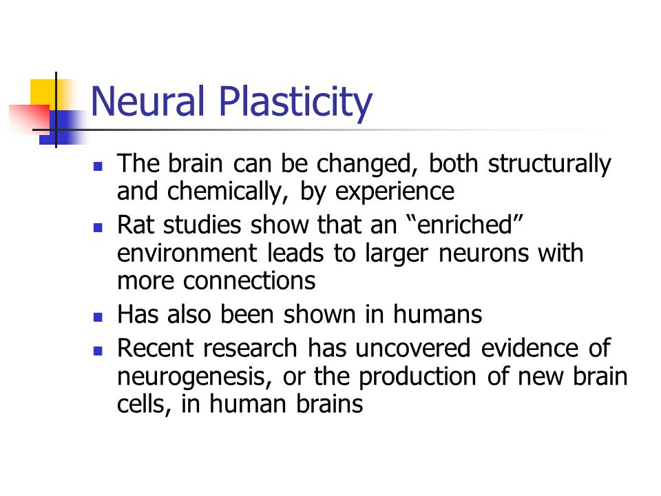 "Neural Plasticity The brain can be changed, both structurally and chemically, by experience Rat studies show that an ""enriched"" environment leads to l"