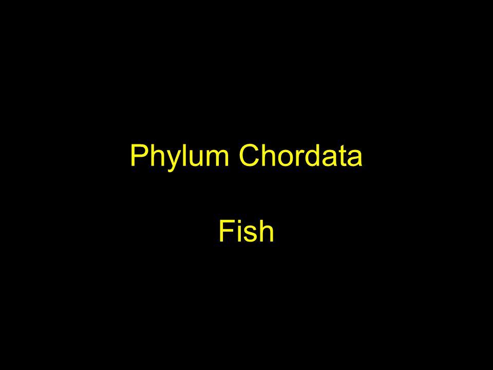 Phylum Chordata Fish