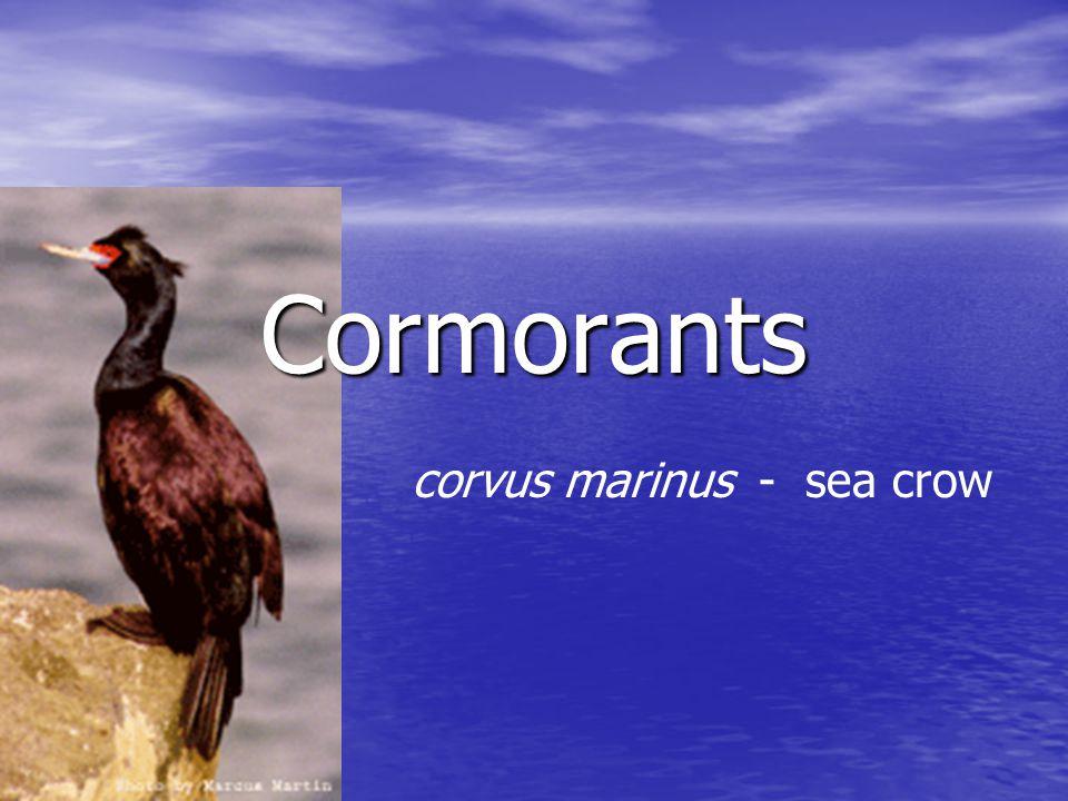 Cormorants corvus marinus - sea crow