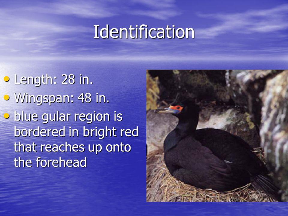 Identification Length: 28 in. Length: 28 in. Wingspan: 48 in.
