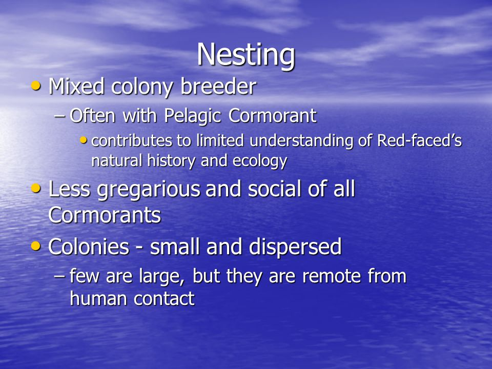 Nesting Mixed colony breeder Mixed colony breeder –Often with Pelagic Cormorant contributes to limited understanding of Red-faced's natural history and ecology contributes to limited understanding of Red-faced's natural history and ecology Less gregarious and social of all Cormorants Less gregarious and social of all Cormorants Colonies - small and dispersed Colonies - small and dispersed –few are large, but they are remote from human contact