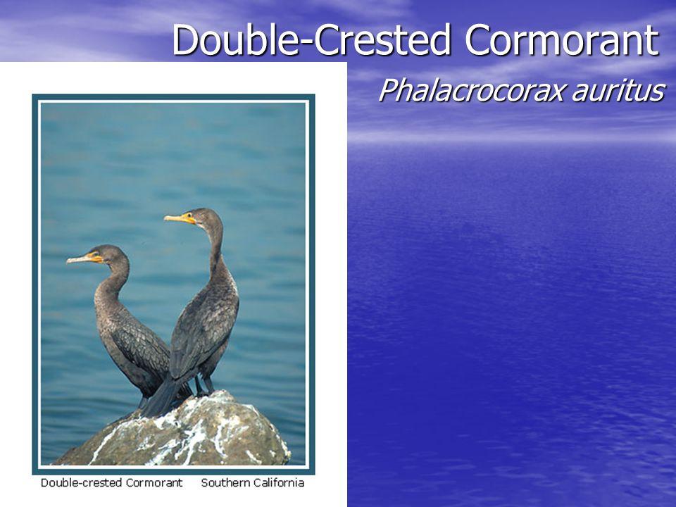 Double-Crested Cormorant Double-Crested Cormorant Phalacrocorax auritus Phalacrocorax auritus