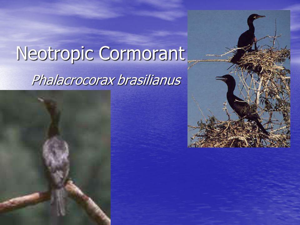 Neotropic Cormorant Phalacrocorax brasilianus