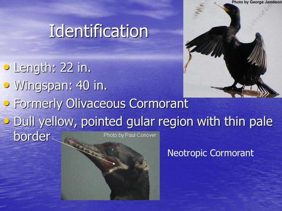 Identification Length: 22 in. Length: 22 in. Wingspan: 40 in.