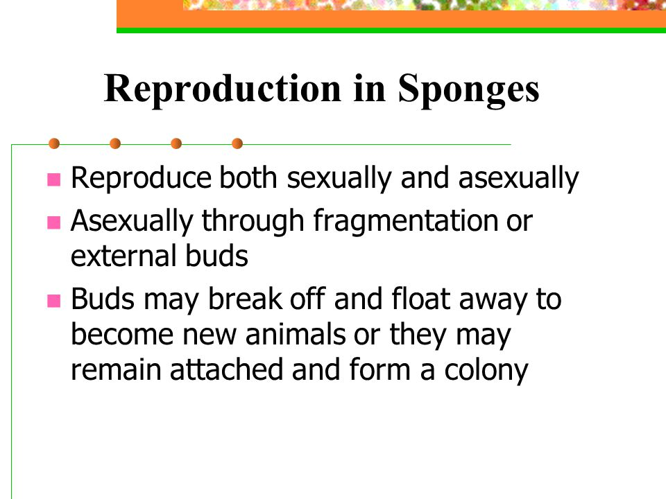 Reproduction in Sponges Reproduce both sexually and asexually Asexually through fragmentation or external buds Buds may break off and float away to be