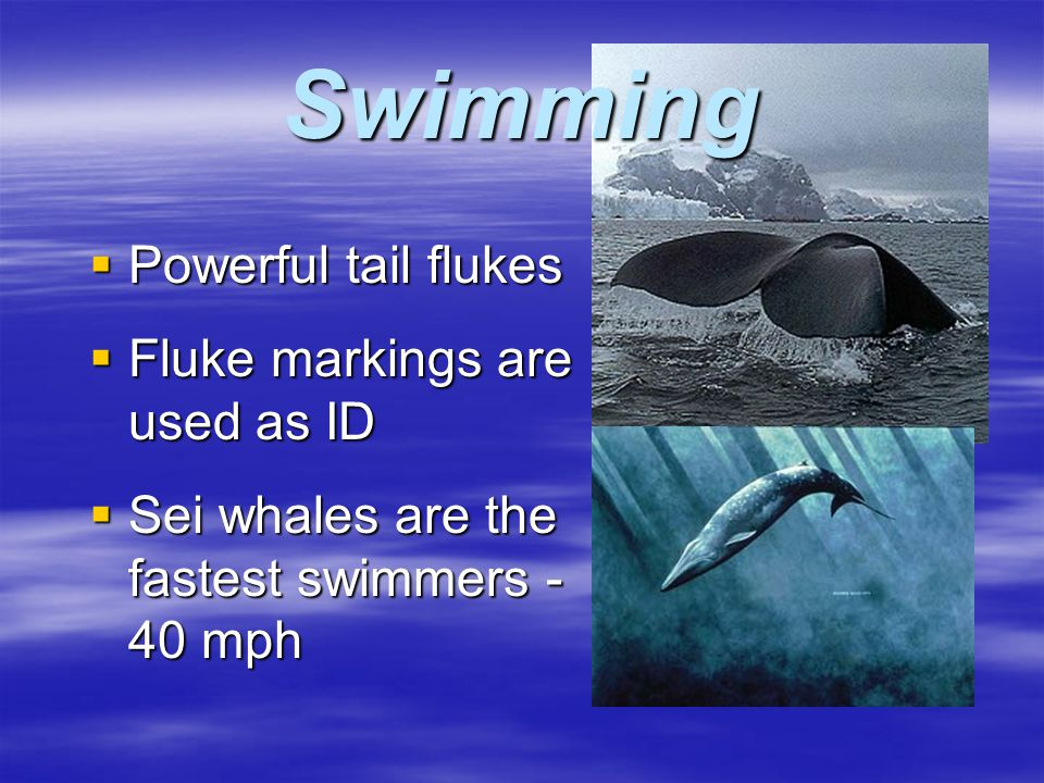 Cetacean Adaptations In the Marine Habitat