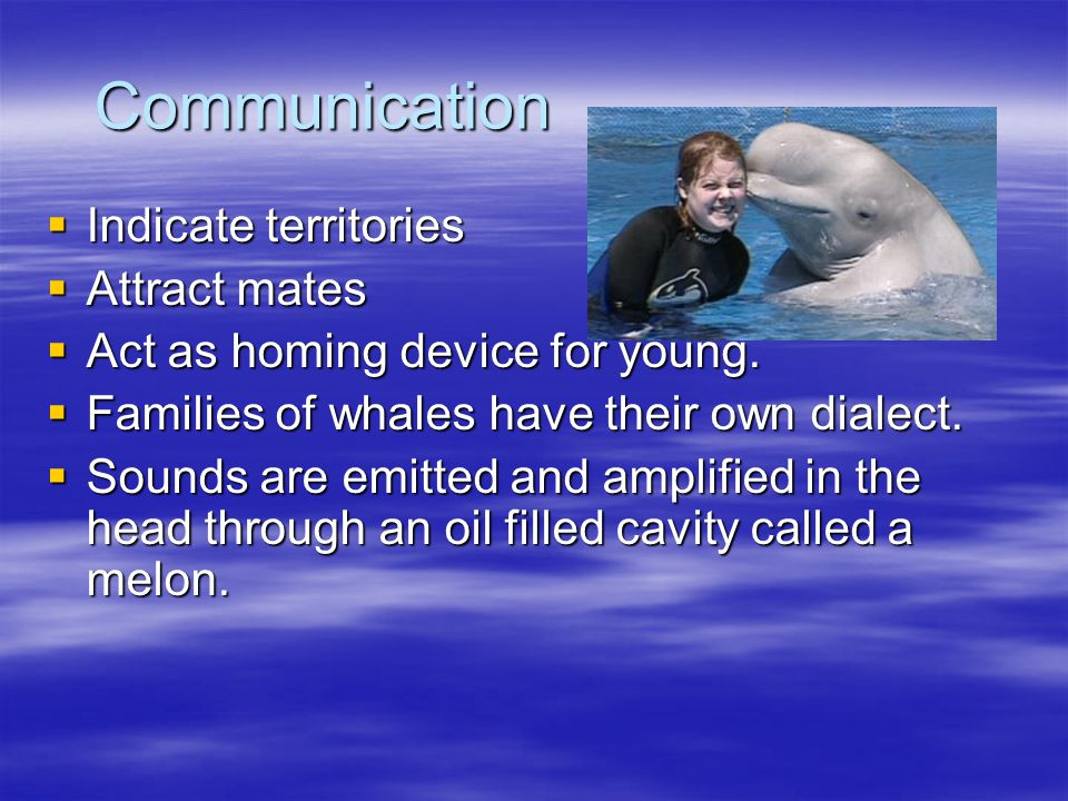 Senses  Vision is poor in most species  Vocalizations and echolocation compensates.  Whales have no vocal chords but make songs, clicks and whines