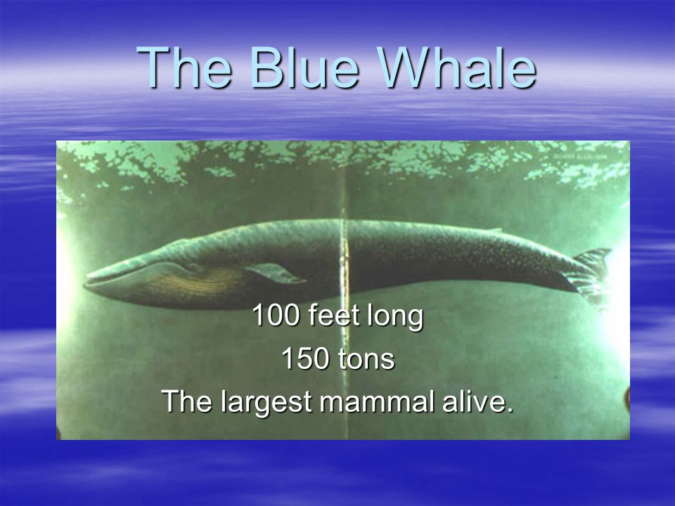 Marine Mammal Characteristics:  Hair (at birth)  Nurse Young  Breathe Air  Warm Blooded  Placenta  Horizontal Tail ( All marine cetaceans)