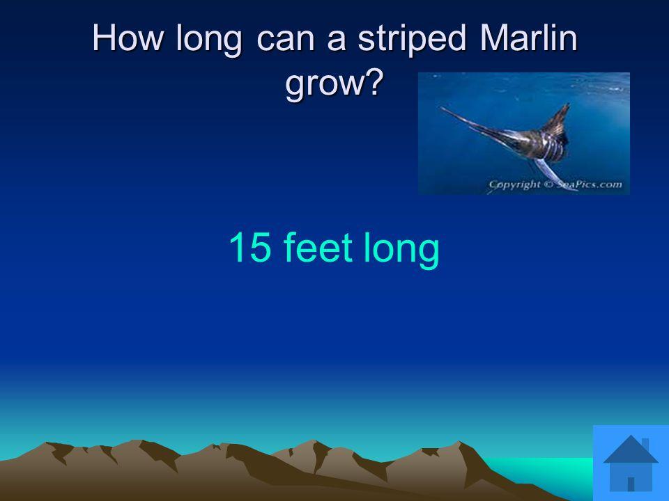 How long can a striped Marlin grow? 15 feet long