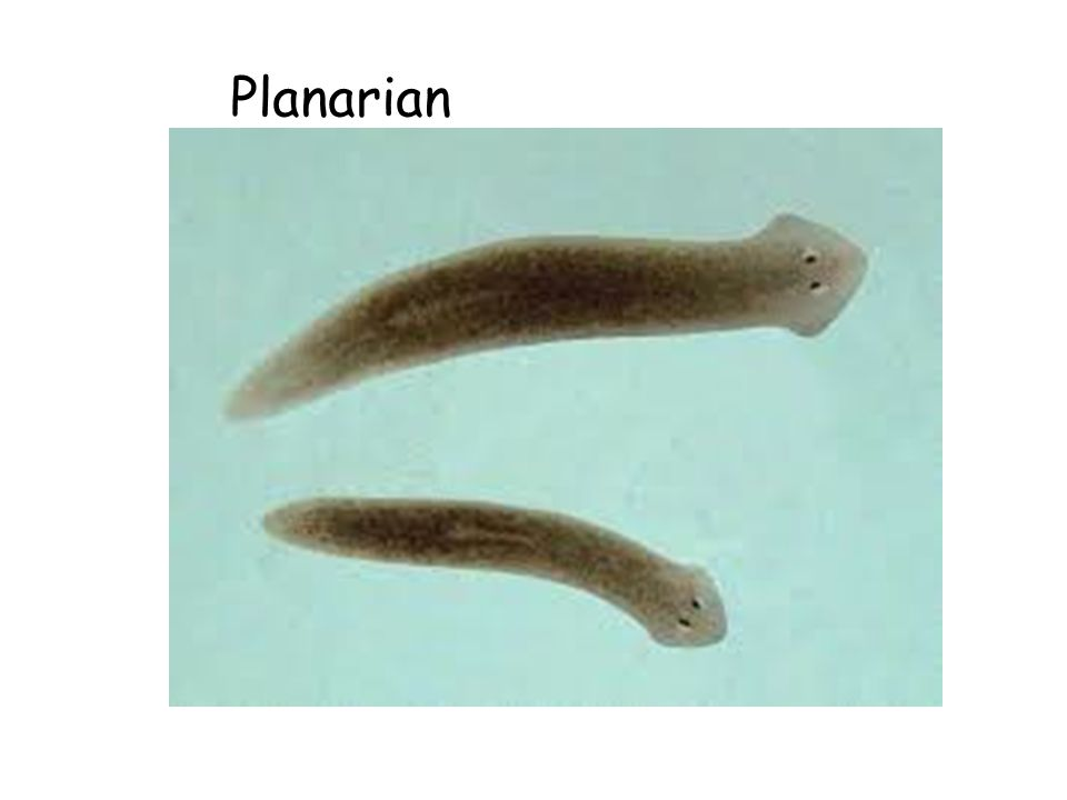 3. Phylum PLATYHELMINTHES: EXAMPLES: PLANARIA, FLUKE, TAPEWORM Flat worms One opening for ingestion and elimination Primitive nervous system Exchange