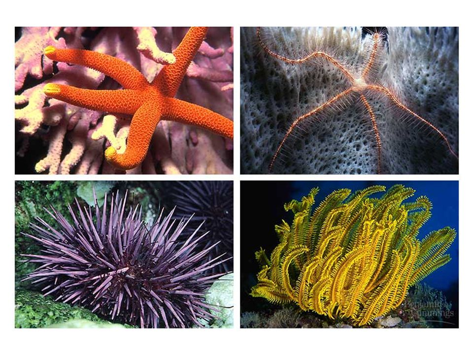 8. Phylum ECHINODERMATA Have spiny bodies Radial symmetry Benthic- bottom dwellers Central mouth on ventral surface ex.- sea urchin, sea star, sea cuc
